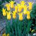 Тюльпан Лилиевидный Ballade Gold 10/11 - оптом