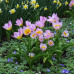 Тюльпан Ботанический Lilac Wonder 5/+ - оптом