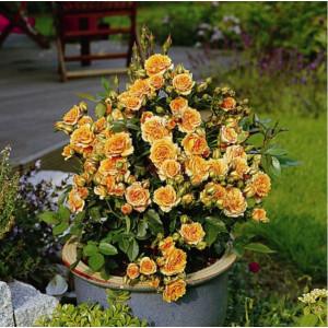 Троянди Патіо в контейнері (горщик)