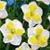 Нарцисс Split corona Lemon Strike 10/12 (каперс) - оптом