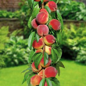 Персик колоновидний