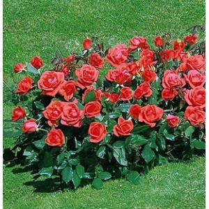 Троянди Бордюрні