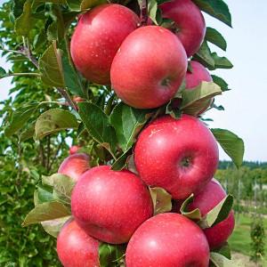 Яблуня колоновидна
