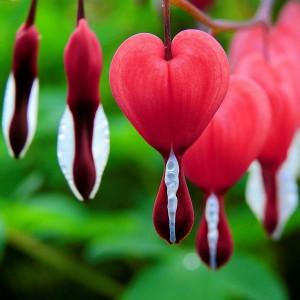 Дицентры (Разбитое сердце)