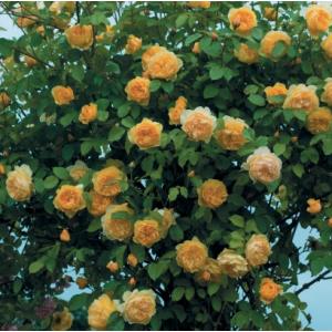 Троянди Англійські плетисті