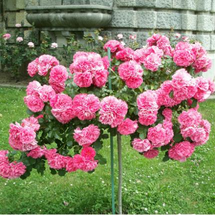 Троянда штамбова плетиста Розаріум 2 прививки