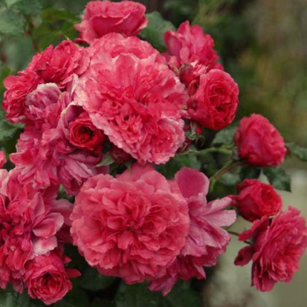 Троянда штамбова плетиста Розаріум 1 прививка