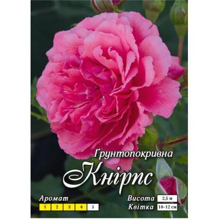 Роза почвопокровная Книрпс (контейнер)