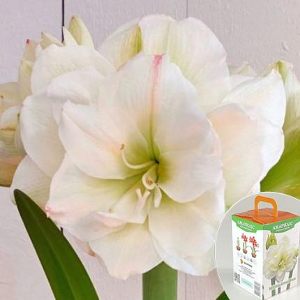 Гиппеаструм махровый White Amadeus 24/26 + КОРОБОЧКА