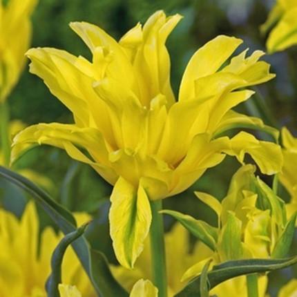 Тюльпан Лілієвидний Yellow Spider 10/11