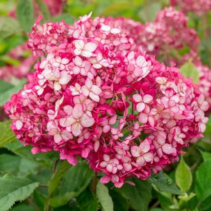 Гортензия Pink Annabel (древовидная однолетняя)