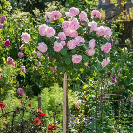 Роза штамбовая Tantau Гартентраум (Gartentraume) 2 прививки