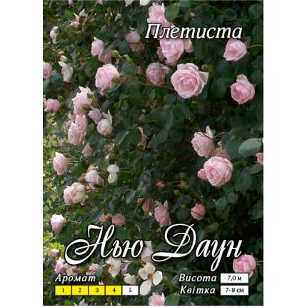 Роза плетистая Нью Даун  класс АА