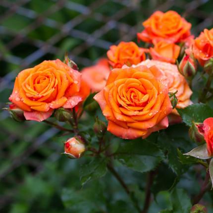 Роза штамбовая Tantau Моника (Monika) 2 прививки