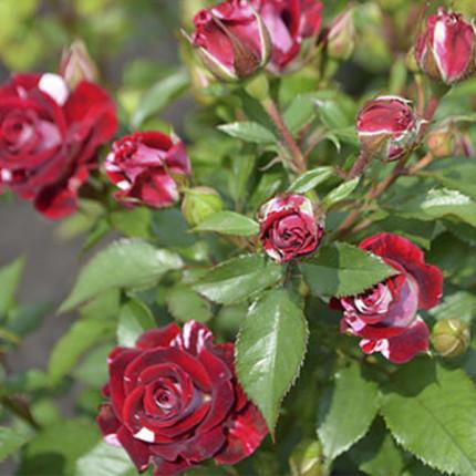 Троянда штамбова Арроу Фоліес 1 прививка