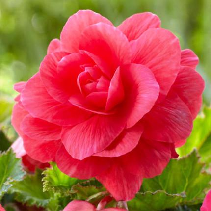 Бегония Махровая Розовая супер ранняя