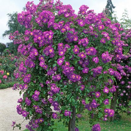 Роза штамбовая Вейченблау 2 прививки