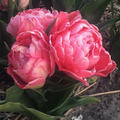 Тюльпан Махровый + Многоцветковый Sweet Amy 11/12 - оптом