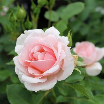 Роза штамбовая Tantau Балладе 2 прививки