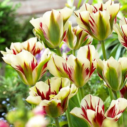 Тюльпан виридифлора Flaming Springgreen 12/+