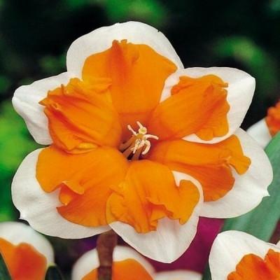 Нарцисс Split corona Orangery 10/12 (каперс) - оптом
