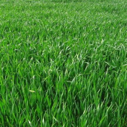 Трава Райграс многолетний  1кг