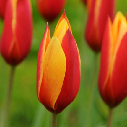 Тюльпан Ботанический Clusiana var Chrysantha 5/+