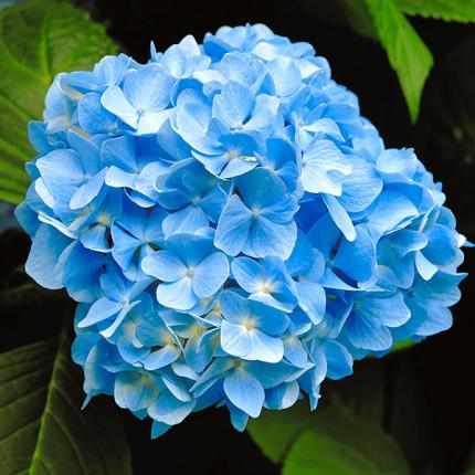 Гортензия Nikko Blue (крупнолистная)