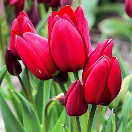 Тюльпан Многоцветковый Silhouette Bouguet 11/12