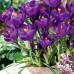 Крокус великоквітковий Flower Record 7/8 - оптом