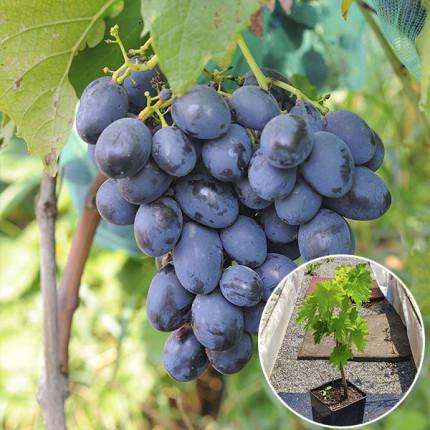 Виноград Черная Пантера (контейнер 2л)
