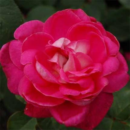 Роза штамбовая Tantau  Акапелла (Acapella) 1 прививка