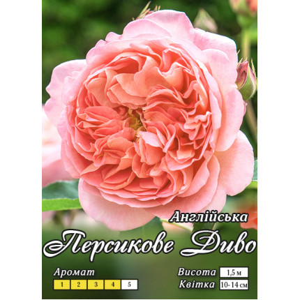 Троянда англійська Персикове Диво клас А