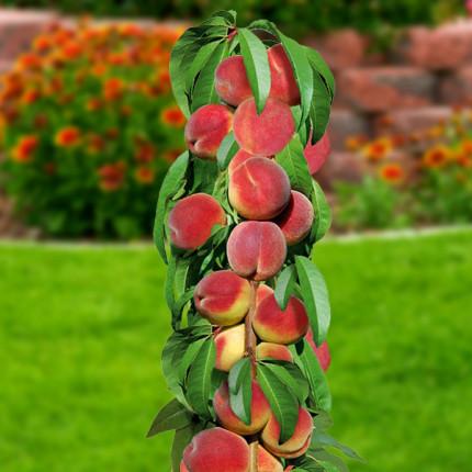 Персик колоновидный Принц 1 класс