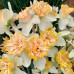 Нарцисс корончатый с махровой короной Petit Four 12/14 (каперс) - оптом