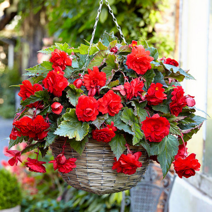 Бегонія ампельна з гігантськими квітками Червона