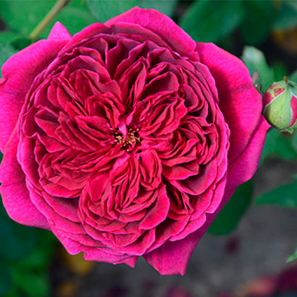 Троянда англійська  Дарсі Бассел (Darcey Bussell) клас А