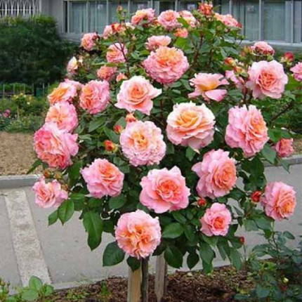 Роза штамбовая Tantau Августа Луиза (Augusta Luise) 1 прививка