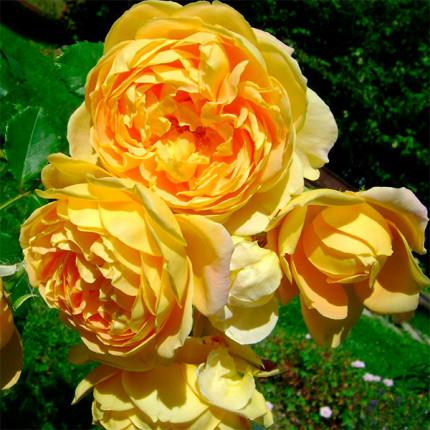 Троянда англійська плетиста Голден Селебрейшн (Golden Celebration) клас А