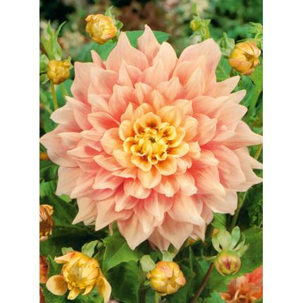 Жоржина з гігантською квіткою Jessy