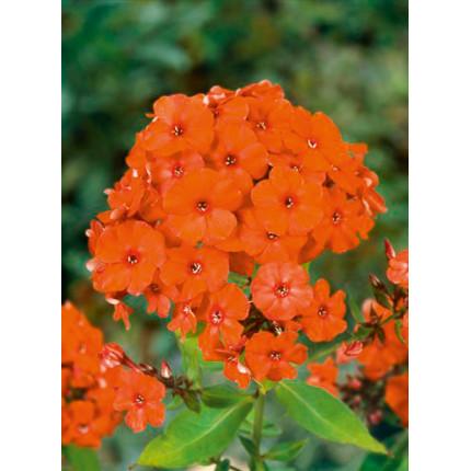 Флокс многолетний Orange Perfection