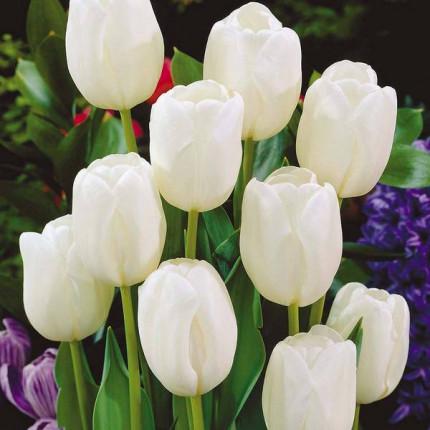 Тюльпан Триумф White Dream 10/11