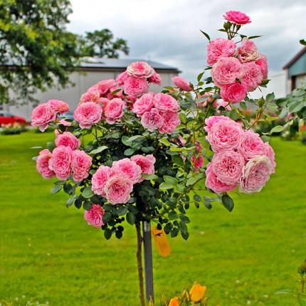 Роза штамбовая Tantau Старлет Роуз Ева (Starlet Rose Eva) 2 прививки