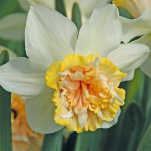 Нарциси Корончаті з махровою короною