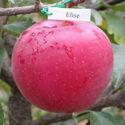 Яблуня Еліза 1 клас
