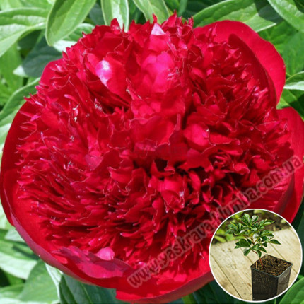 Пион травянистый Red Charm (контейнер 2.5 л)