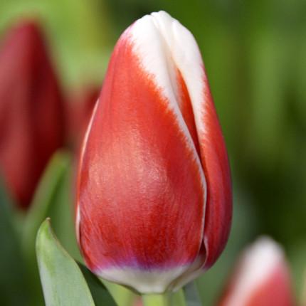 Тюльпан триумф De Dijk 12/+