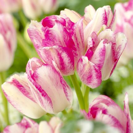 Тюльпан багатоквітковий Dream Club 12/+