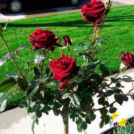 Троянда штамбова Чорна королева 1 прививка