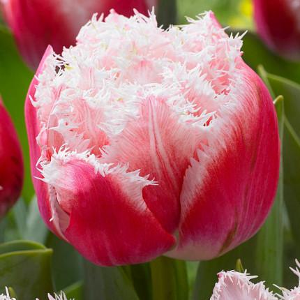Тюльпан махрово-бахромчатый Queensland 12/+